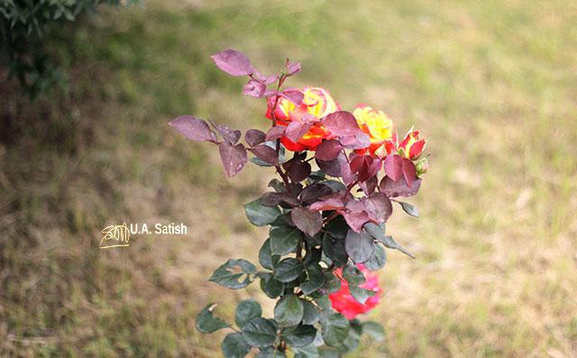 roses; Namchi; Sikkim; India; temple complex; Solophok Hills; uasatish;