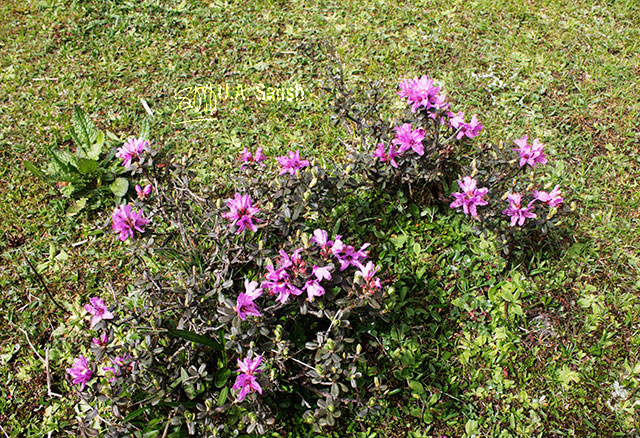Yumthang; valley; Sikkim; India; Rhodendron; flowers; uasatish;