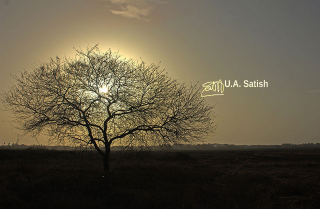 Vasai; Mumbai; India; tree; gnarled; sky; sun; uasatish;