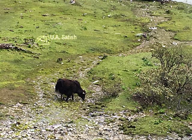 Yumthang, Sikkim, India,Yak,pasture, uasatish,
