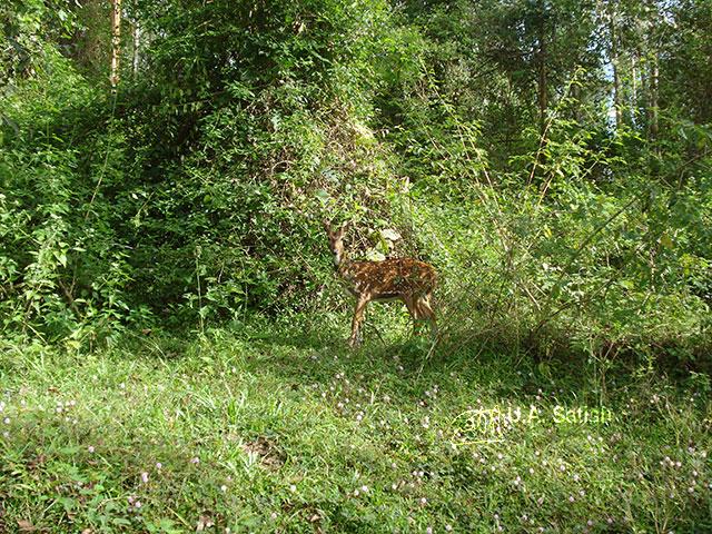 Kerala; Wayanad; forest; deer; uasatish;
