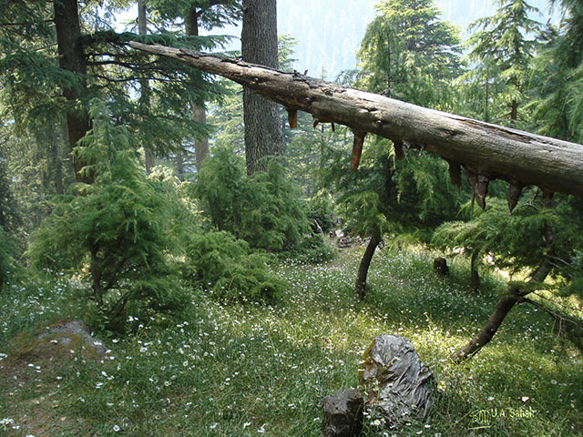 Kalatope Forest; Himachal Pradesh; forest; cedars; Indua; trees; uasatish;