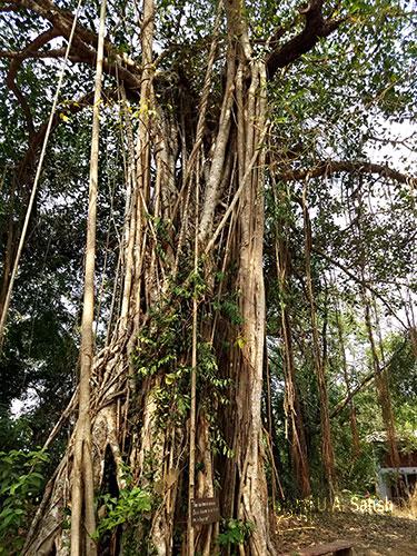 Baniyan Tree; Casuarina Tree; Gundert Bungalow; Thalassery; Kerala; India; uasatish;