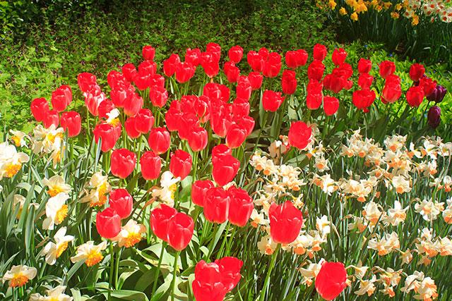 tulips; Keukenhof; gardens; Netherlands; flowers; Lisse; uasatish; reds;