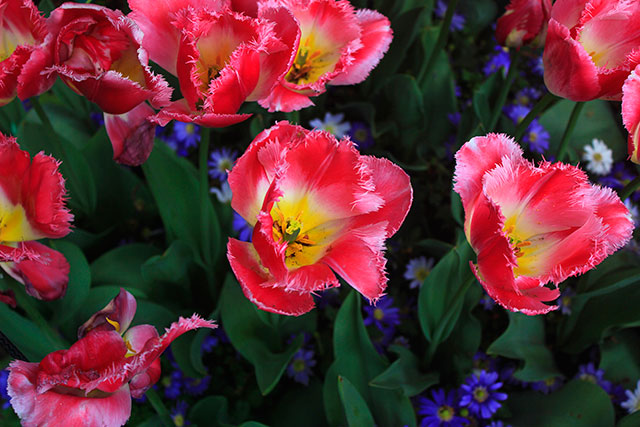 tulips; Keukenhof; gardens; Netherlands; flowers; Lisse; uasatish; re and yellow;