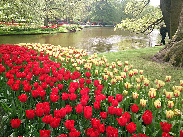 tulips; Keukenhof; tulip gardens; Netherlands; flowers; Lisse; uasatish;