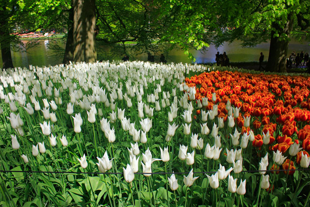 tulips; Keukenhof; gardens; Netherlands; flowers; Lisse; uasatish; white and orange;