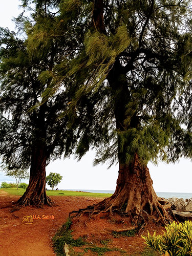 Kannur Fort; Fort St Angelos; Kannur; travel; Kerala; uasatish; old casuarina trees;