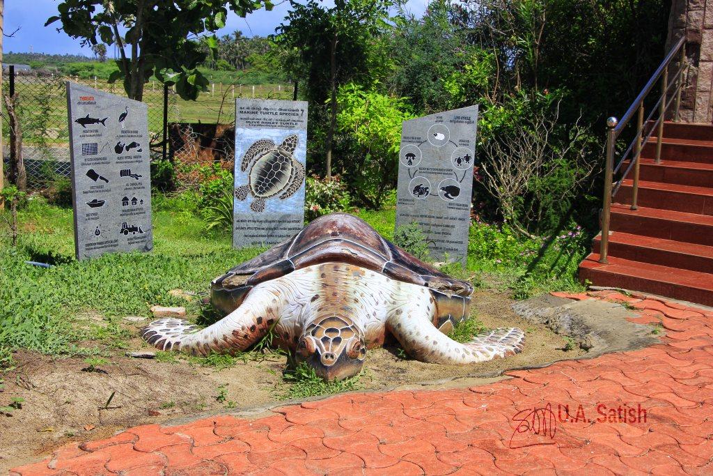 sea turtle; Ramesaram; uasatish; Mannar Biosphere;